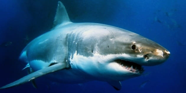 """Shark Week"" and the World's Most Dangerous Work"