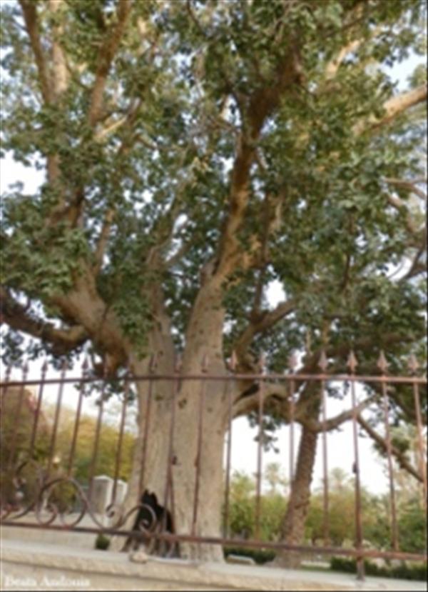 Sycamore tree flipped