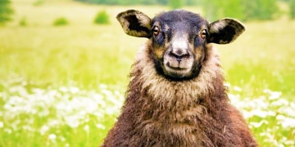 Black Sheep 600
