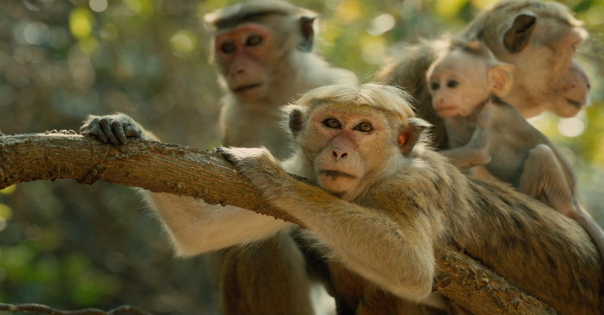 Cinderella Story Gets Delightful Simian Spin in <i>Monkey Kingdom</i>