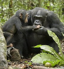 Alpha Male Makes a Comeback in <i>Chimpanzee</i>