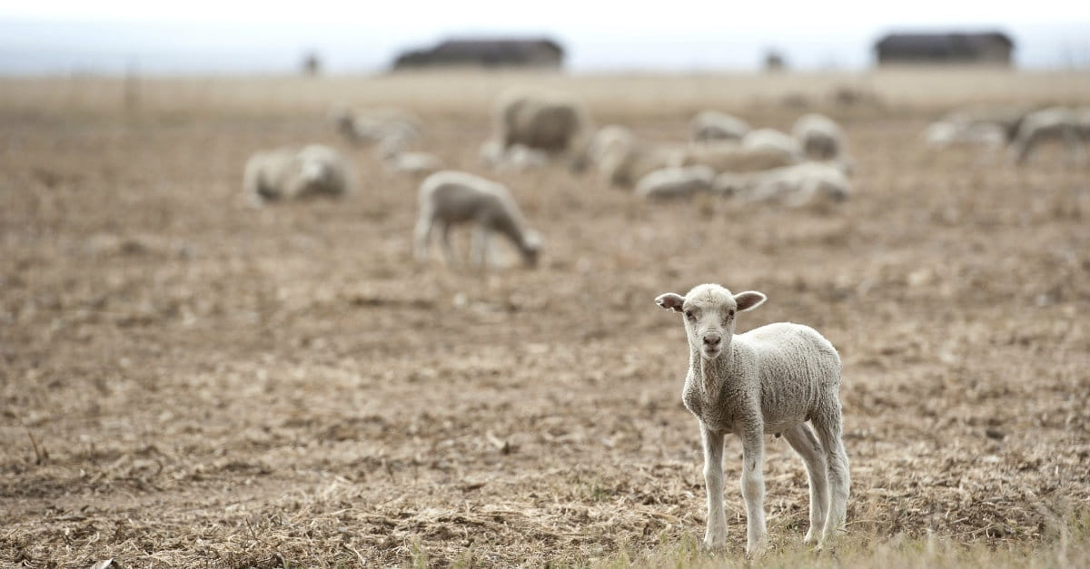 Lessons from a Lost Sheep