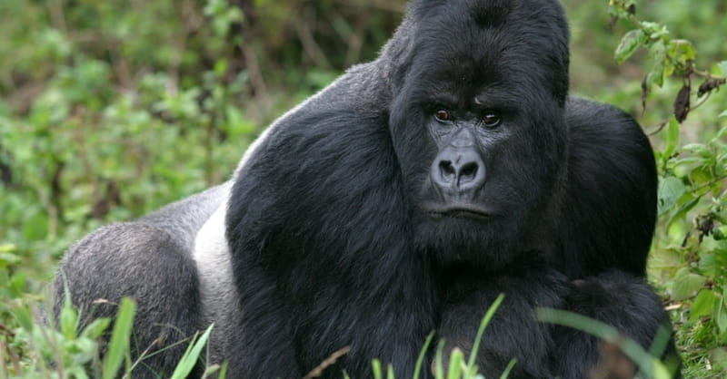 Slain Gorilla Receiving More Media Coverage Than ISIS' Victims