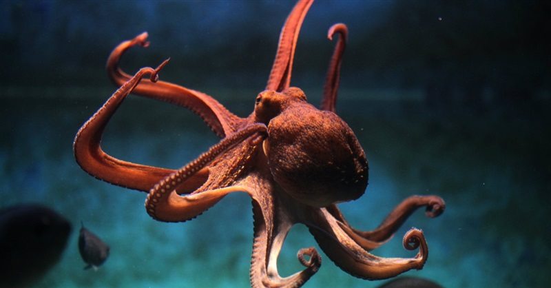 Have Octopuses Outsmarted Darwin?