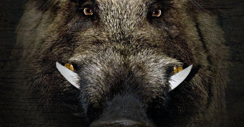 Wild Boars Attack ISIS Militants in Iraq