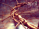 April 2010 - Crown of Thorns - Wallpaper