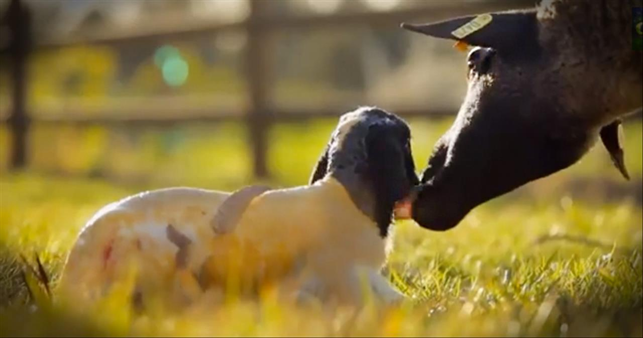 This Little Lamb Can Teach Us an Important Life Lesson