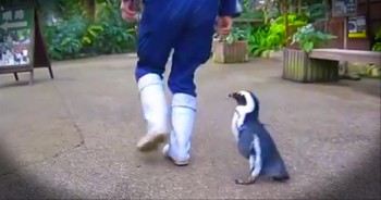 It's Impossible to See This Penguin and Be Unhappy - Awww!