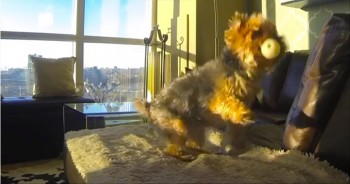 Adorable Little Yorkie Has a Hard Time Playing Catch...So Funny!