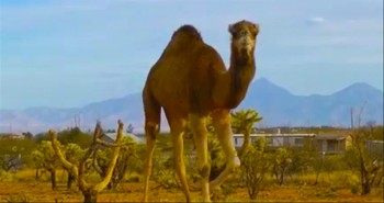 Giant Camel Pretends He is Not Following Newborn Lamb - But We See Him!