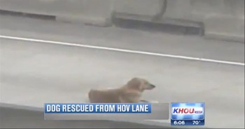 A Scared Dog on a Busy Freeway Gets A Dramatic Rescue!