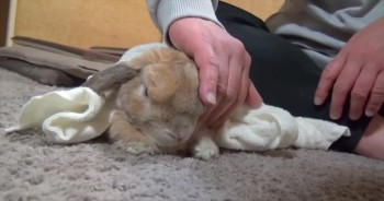 Cute Bunny Does the Funniest Thing When You Stop Petting It