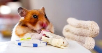 One Hungry Hamster Enjoys Some Fine Dining! So Cute!