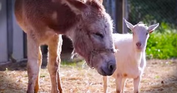 Grieving Goat Refused To Eat Until He Was Reunited with His Best Friend