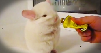 You'll Love What This Chinchilla Does For A Tre