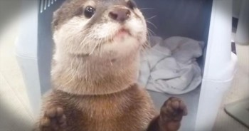 Wait Til You See Why This Otter Is Squealing With Delight!