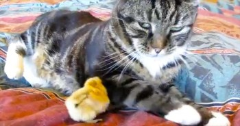 This Kitty Is NOT A Fan Of This Chipper Chick – So Cute