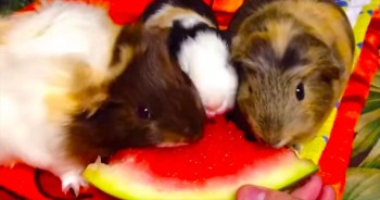 Hungry Guinea Pigs + Watermelon = ADORABLENESS