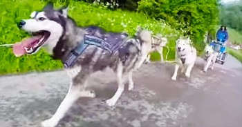 These Huskies Are Going On An AMAZING Adventure. Just Wait For The 'Okay Go'!