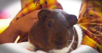 I'm Cracking Up Over This Grumpy Guinea Pig – Is There Anything This Cutie Actually LIKES?