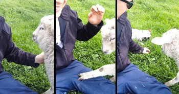 This Lamb Was Getting ALL The Attention. So This Playful Pup Had To Do Something ADORABLE! LOL!