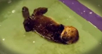 This Precious Rescue Otter Is Learning To Swim. And It's Pure CUTENESS Overload!