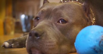 A Pitbull is Rescued From Dog Fights And Changes This Couple's Life