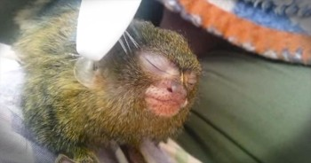 Precious Pygmy Marmoset Loves Being Brushed With a Toothbrush