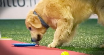 Hilarious Golden Retriever Stops In The Middle Of A Race To Eat Treats