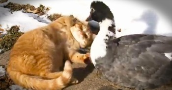 2 Cats Are Best Friends With An Adorable Duck
