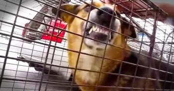 Abandoned German Shepherd Seems Vicious Until He's Shown Real Love