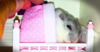 Adorable Hamster Gets Tucked In Every Night
