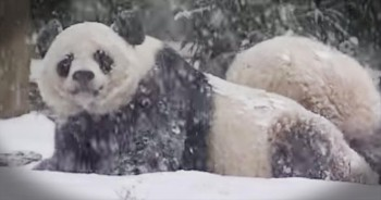Panda Cub Plays In The Snow For The First Time