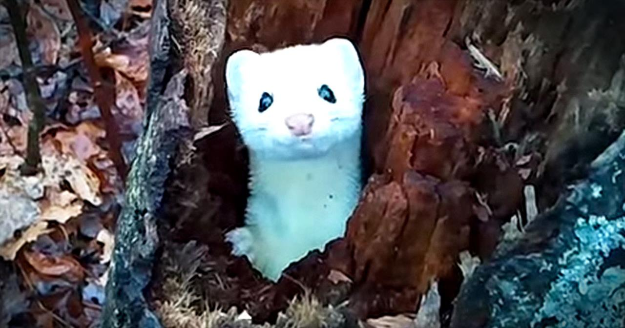 Adorable Ermine Plays Peek-A-Boo In Tree