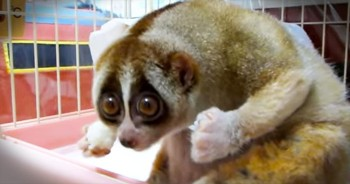 Precious Slow Loris Just Wants More Rice Balls