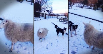 Lamb That Thinks She's A Dog Plays In The Snow