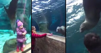 Sea Lion Plays Game With Little Girl's Glove At Aquarium
