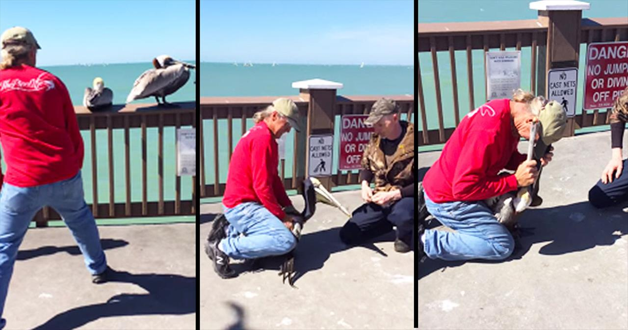 Brave Men Help Pelican With Wire Wrapped Around Beak
