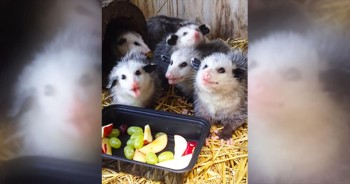 Little Opossums REALLY Enjoy Their Fruity Treat