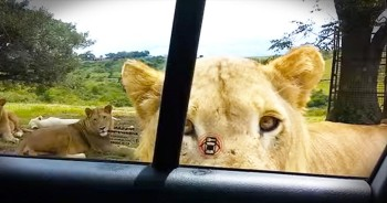 Friendly Lion Opens Car Door