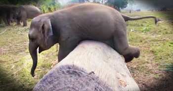 Clumsy Baby Elephant Will Make Your Entire Day!