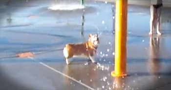 Adorable Corgi Has A BALL At The Water Park