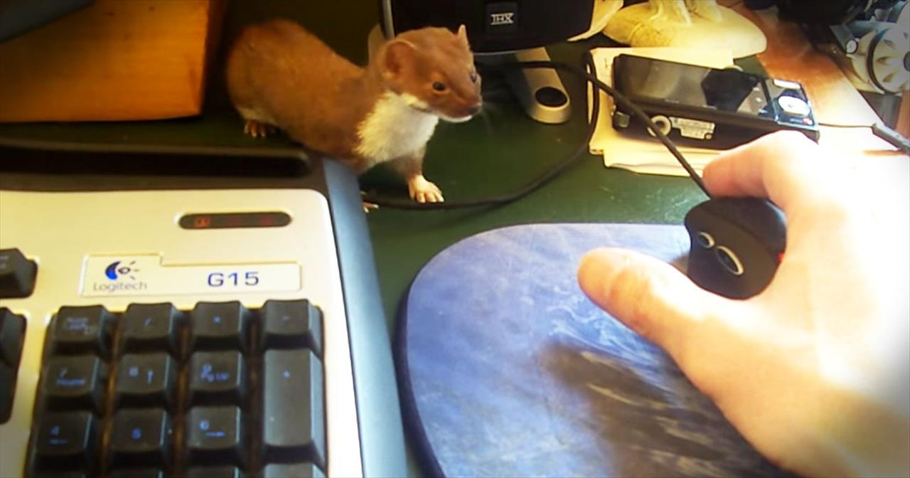 Rescued Weasel Has Adorable Play Time With Owner