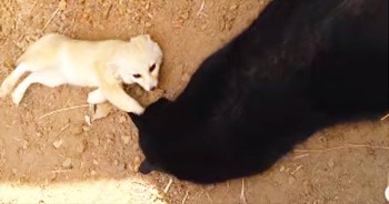 Fennic Fox Has Precious Reunion With Kitty Best Friend