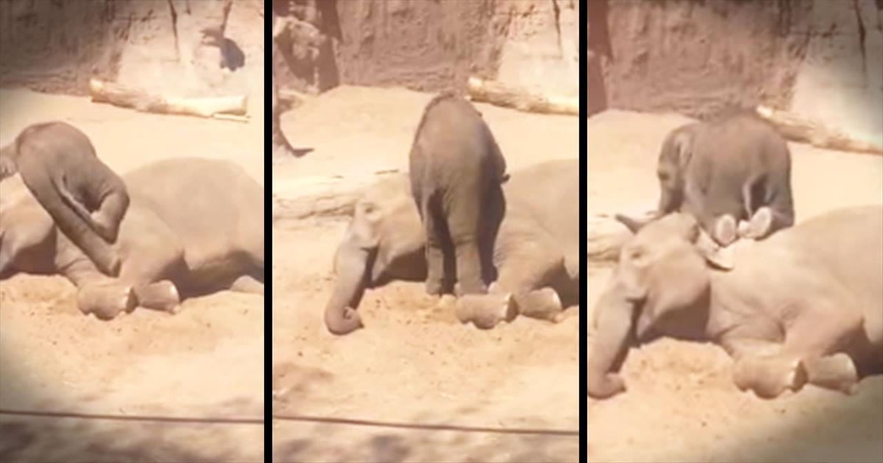 Energetic Baby Elephant Just Wants To Play