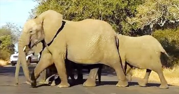 Family Of Elephants Cross Busy Road With Baby