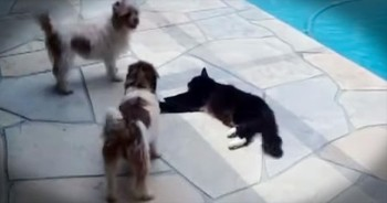 Kitty Pushes Dog Into Pool