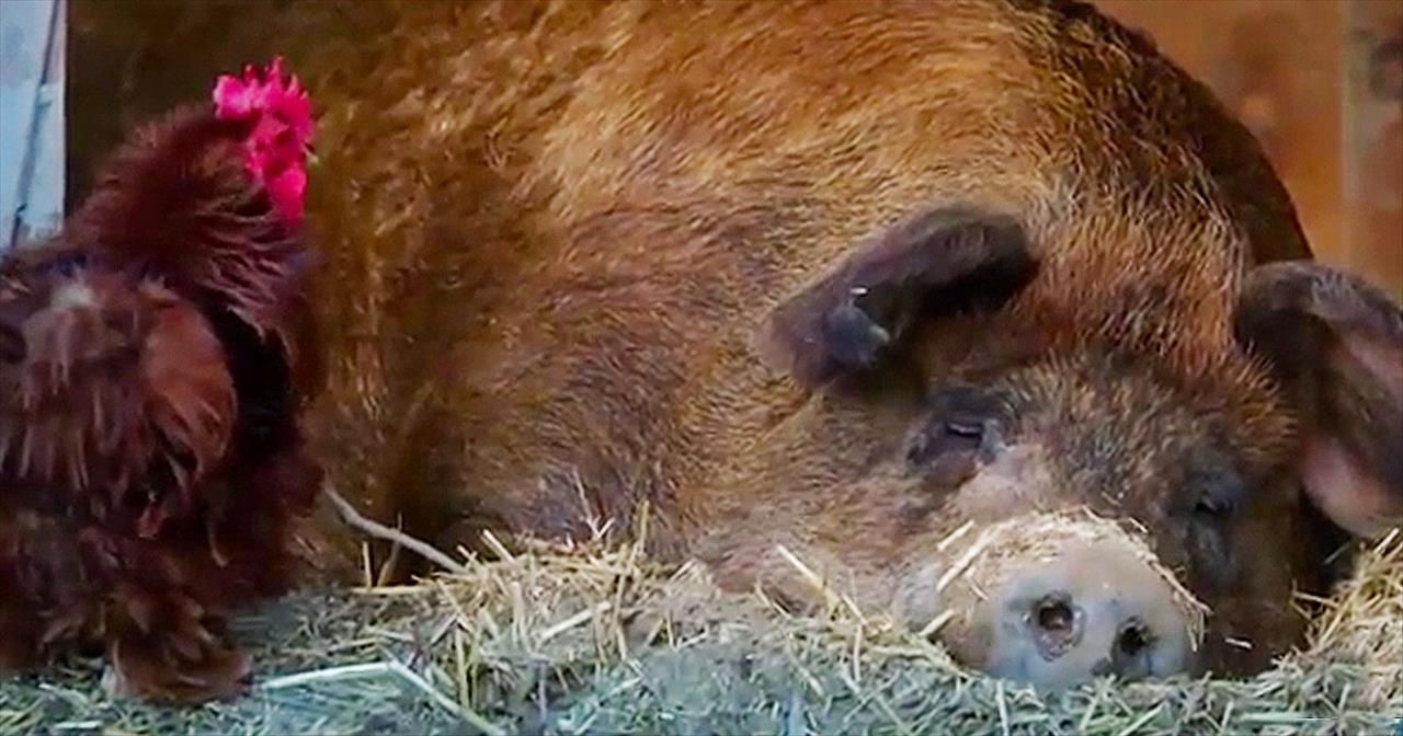 Lonely Pig And Rooster Become Best Friends