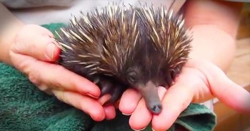 Rescued Baby Echidna Eats Out Of Helper's Hand
