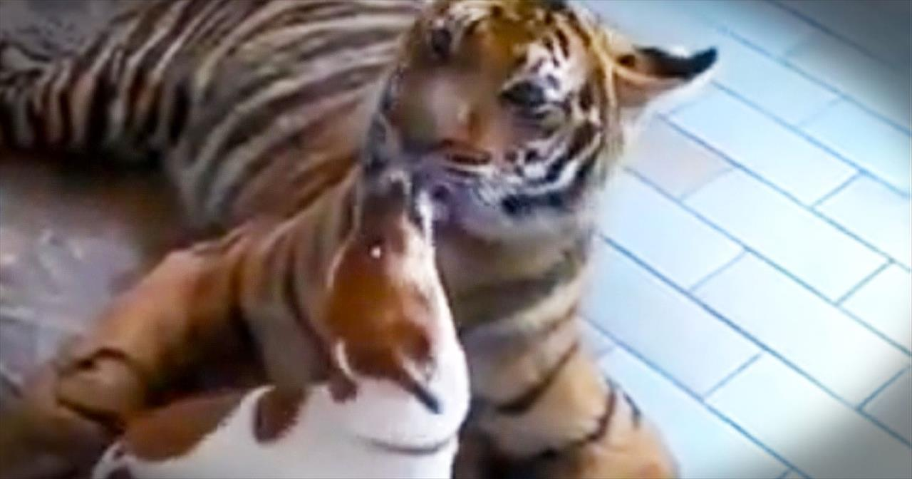 Tiger Cares For Tiny Terrier